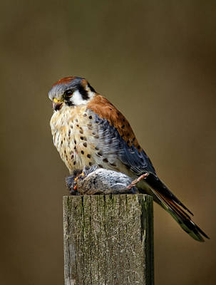 Photograph - Kestrel With Prey by Craig Strand