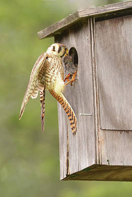 Photograph - Kestrel With Vole by Alan Lenk