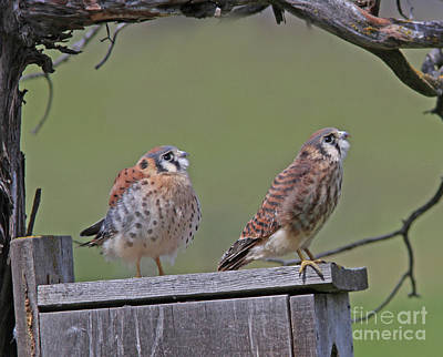 Photograph - Kestrels by Gary Wing