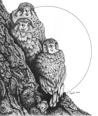 Drawing - Kestrels by Lawrence Tripoli