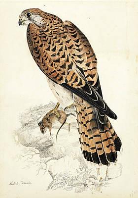 Drawing - Kestril, Female by Prideaux John Selby