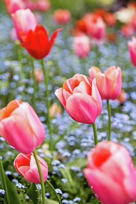 Photograph - Keukenhof Tulips - Amsterdam by Melanie Alexandra Price