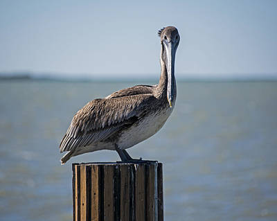 Photograph - Key Largo Florida Pelican Stare Down by Toby McGuire