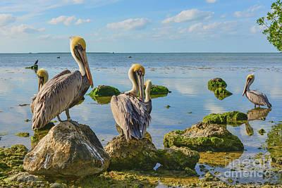 Photograph - Key Largo Pelicans by Olga Hamilton