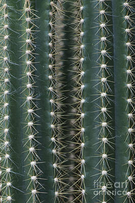 Cactaceae Photograph - Key Tree Cactus by Tim Gainey