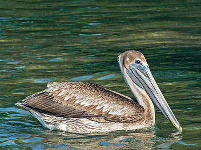 Photograph - Key West Brown Pelican by Bob Slitzan