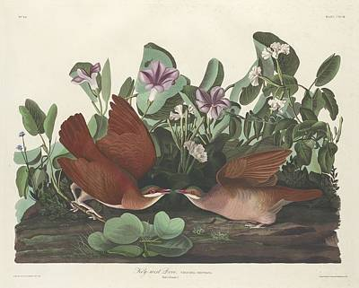 Dove Drawing - Key-west Dove by Dreyer Wildlife Print Collections