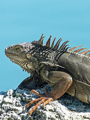 Photograph - Key West Green Iguana 5 by Bob Slitzan