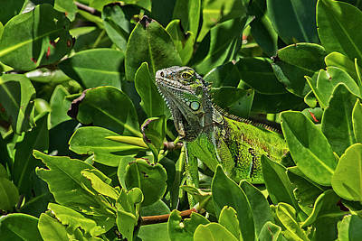 Photograph - Key West Green Iguana Blending In by Bob Slitzan
