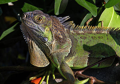Photograph - Key West Green Iguana by Bob Slitzan