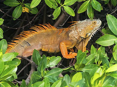 Photograph - Key West Iguana Hiding In A Mangrove by Bob Slitzan