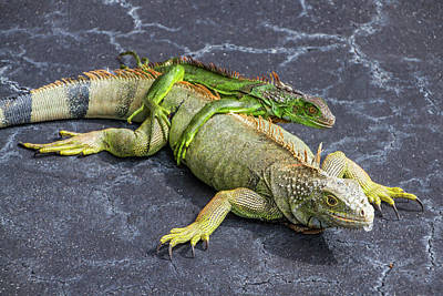 Photograph - Key West Iguana Mother And Child by Bob Slitzan