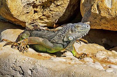Photograph - Key West Iguana Staying Out Of Jail by Bob Slitzan