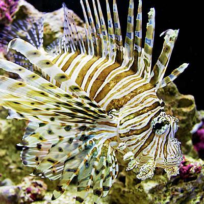 Photograph - Key West Lionfish by Bob Slitzan