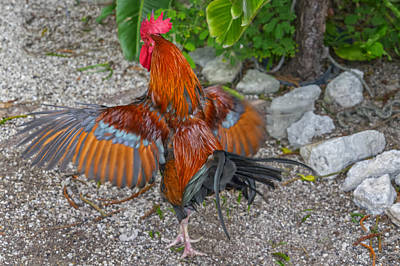 Photograph - Key West Rooster Florida Dsc01481_16 by Greg Kluempers