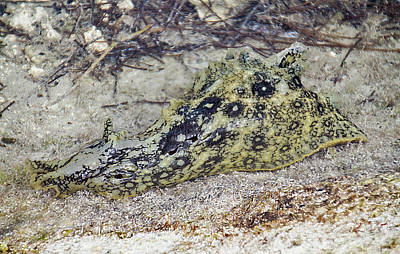 Photograph - Key West Spotted Sea Hare 2 by Bob Slitzan