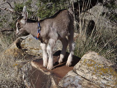 Digital Art - Kid Goat by Annie Gibbons