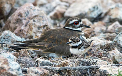Photograph - Kildeer Adult And Chick 6019-041818-1cr by Tam Ryan