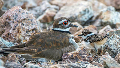 Photograph - Kildeer Adult And Chick 6020-041818-1cr by Tam Ryan