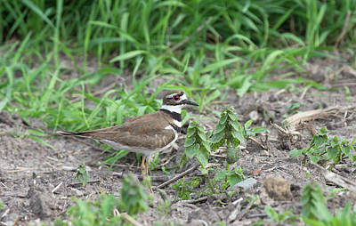 Photograph - Kildeer by Jim Zablotny