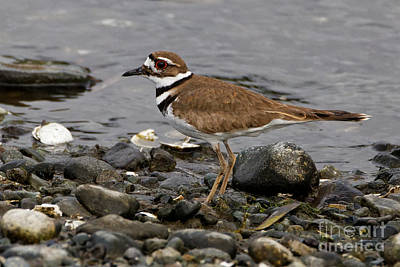 Photograph - Kildeer On The Beach by Sue Harper