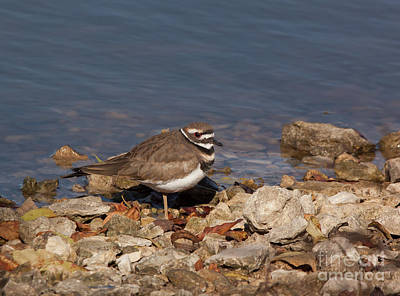 Killdeer Photograph - Kildeer On The Rocks by Robert Frederick