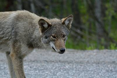 Photograph - Killarney Coyote by David Porteus