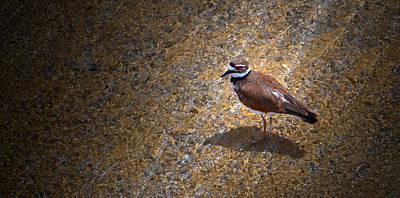 Dave Taylor Photograph - Killdeer Cool Off by Dave Taylor
