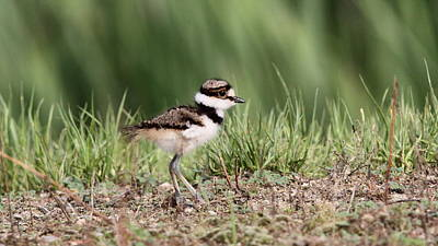 Killdeer - 24 Hours Old Art Print