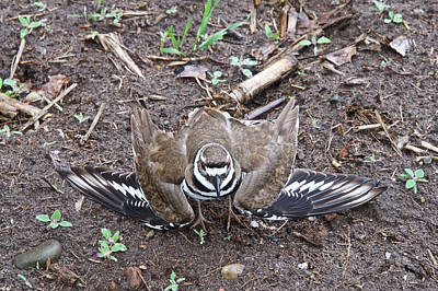 Killdeer Photograph - Killdeer 3076 by Michael Peychich