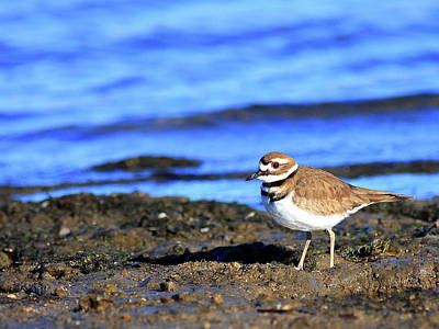 Killdeer Photograph - Killdeer . 40d4101 by Wingsdomain Art and Photography