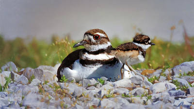 Photograph - Killdeer And Chick by Susan Rissi Tregoning