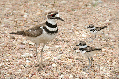 Photograph - Killdeer And Chicks by E B Schmidt