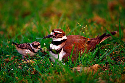 Killdeer Photograph - Killdeer And Young by Denny Bingaman
