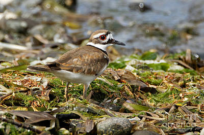 Photograph - Killdeer At The Coast by Sue Harper