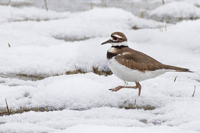 Photograph - Killdeer by Bill Wakeley