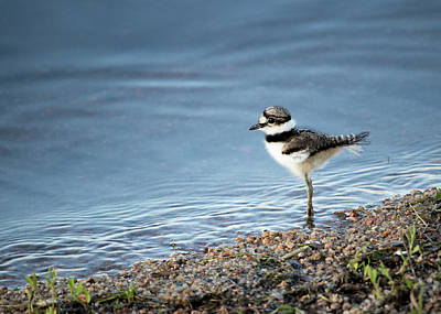 Photograph - Killdeer Chick by Lauren Lang