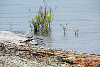 Photograph - Killdeer by Debbie Oppermann