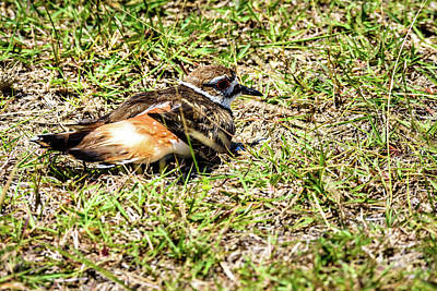 Photograph - Killdeer Doing Broken Wing Display by Debra Martz