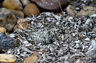Killdeer Wall Art - Photograph - Killdeer Eggs In Nest by Anthony Mercieca