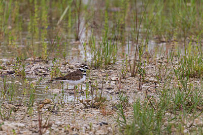 Photograph - Killdeer In The Rain II by Christopher L Thomley