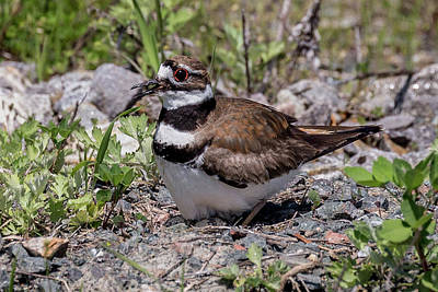 Photograph - Killdeer by Jim Gillen