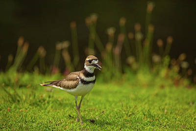 Killdeer Photograph - Killdeer by Karol Livote