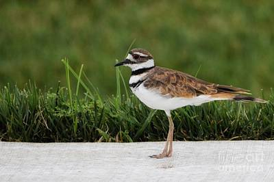 Photograph - Killdeer  by Lisa Plymell