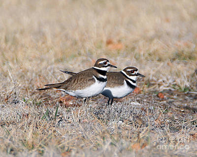 Photograph - Killdeer Mates by Elizabeth Winter