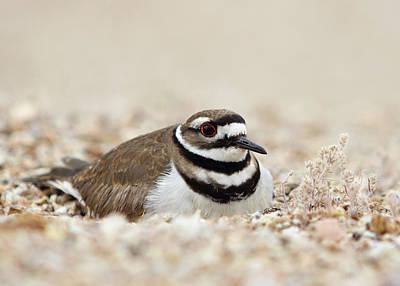 Bird Photograph - Killdeer On Nest by Gary Michael Flanagan