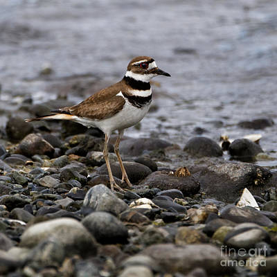 The Champagne Collection - Killdeer on Rocky Beach by Sue Harper