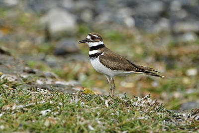 Photograph - Killdeer On Shoreline Grasses by Sue Harper