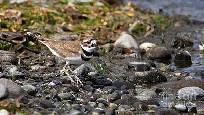 Photograph - Killdeer On The Rocks by Sue Harper