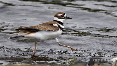 Photograph - Killdeer On The Run by Sue Harper